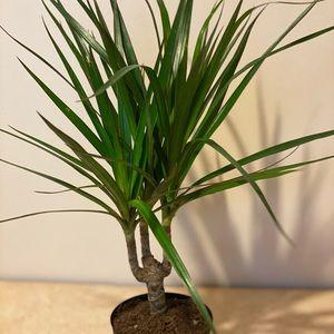 Draceana Marginata Dragon Tree 1 Stem